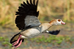 102-Egyptian-Goose--kolgans